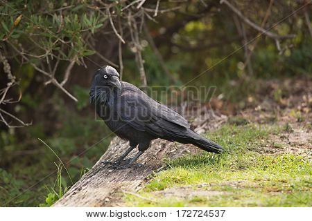 Australian raven in a park, sunny day