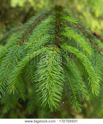 closeup of a green spruce branch in spring time