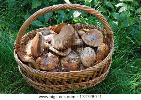 Boletus edulis mushroom in basket on grass background