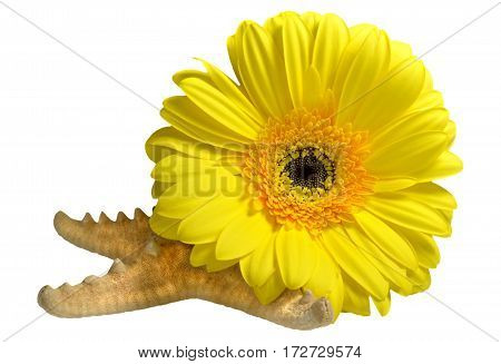 Composition of yellow gerbera flowers flower and starfish. Isolated on white background