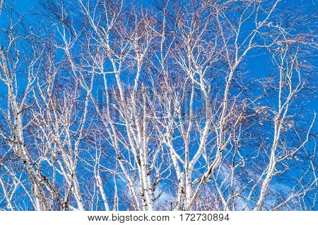 Birch branch against the blue clear sky