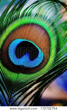 Close up of blue green peacock feather
