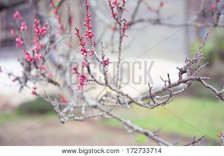 Branches of Cherry Plum with flower buds in spring garden