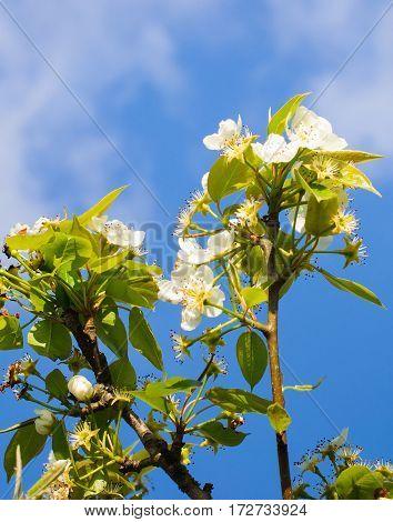 Black currant flower against blue sky. Spring.