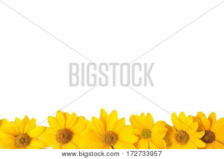 Many yellow flowers isolated on white background. Close-up photo of golden color summer flowers isolated. Design solution. The space for the congratulatory text.