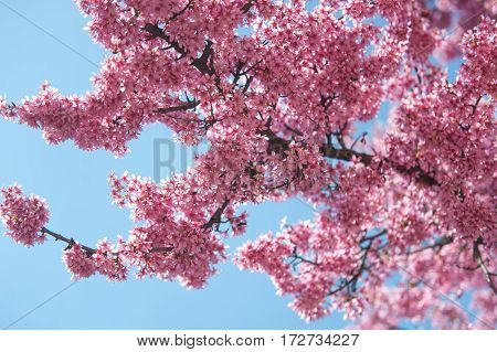 Pink Kwanzan Cherry tree in fool bloom against blue sky in sunny day