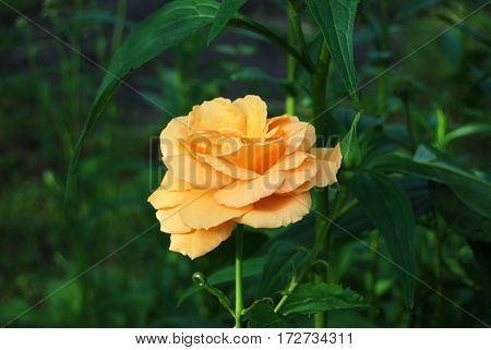 Beautiful Rose Flower