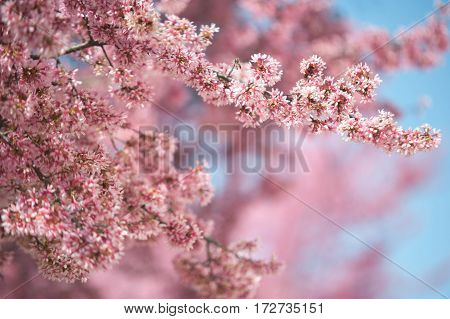 Blooming branches of pink Kwanzan Cherry tree with blue sky background. Selective focus