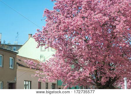 Pink Kwanzan Cherry tree in fool bloom at city street