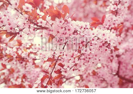 Branches of blooming cherry tree. Creamy toed image