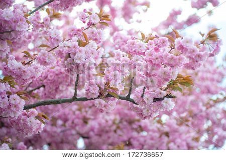 Kwanzan Cherry branches in spring full bloom