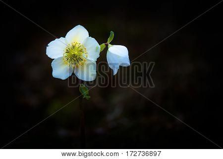 Helleborus Niger White Flower