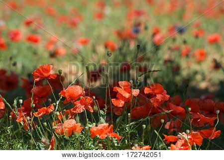 Red poppy field with blur nature background, not all in focus, close up poppies