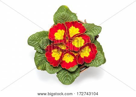 top view from branch of yellow and red flowers with leafs turning yellow isolated in white background