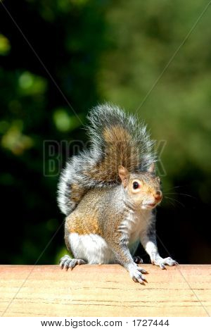 Cute brown wild squirrel enjoying the sun perched on a park bench. poster