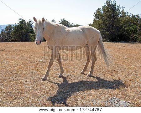 Feral Wild Horse - Palomino Mare on Tillett Ridge in the Pryor Mountain Wild Horse Range on the Wyoming Montana border - USA