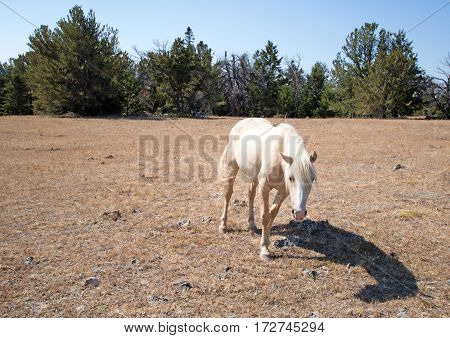 Wild Horse - Palomino Mare on Tillett Ridge in the Pryor Mountain Wild Horse Range on the Wyoming Montana border - USA