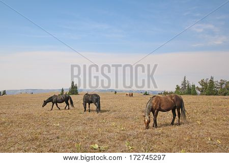 Herd of Wild Horses on Sykes Ridge in the Pryor Mountains in Montana USA