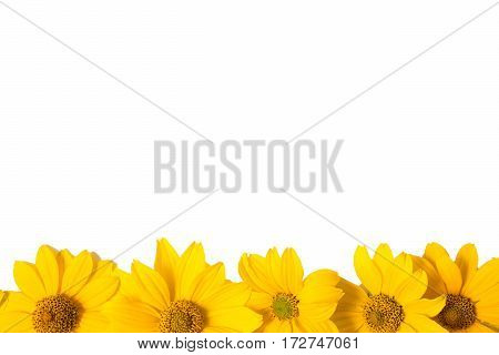 Many yellow flowers isolated on white background. Close-up photo of golden color summer isolated flowers. Design solution. The space for the congratulatory text.