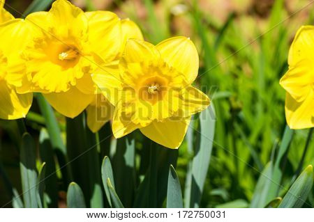 Close-up of yellow daffodils. Daffodils on a snuny day