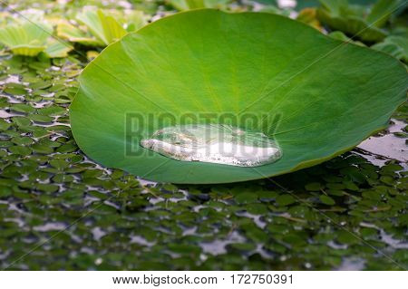 Close-up of a big lily pad. Water lily