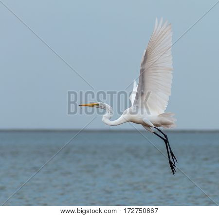 White crane midflight with big wingspread. Lake Hefner, Oklahoma