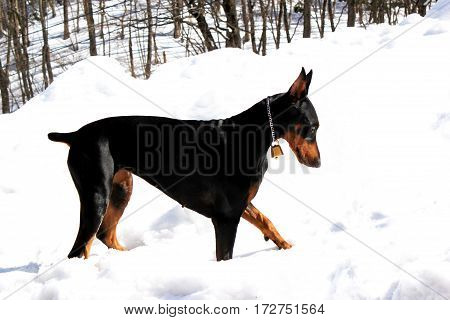 Portrait of Doberman pinscher. At a snow-covered mountain.