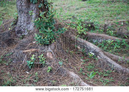 Roots of old tree in Sarawak Borneo