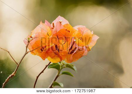 bougainvillea bloom bougainvillea flower Orange nature backgroubd.