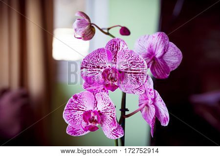 Pink And White Spotted Orchid Toned