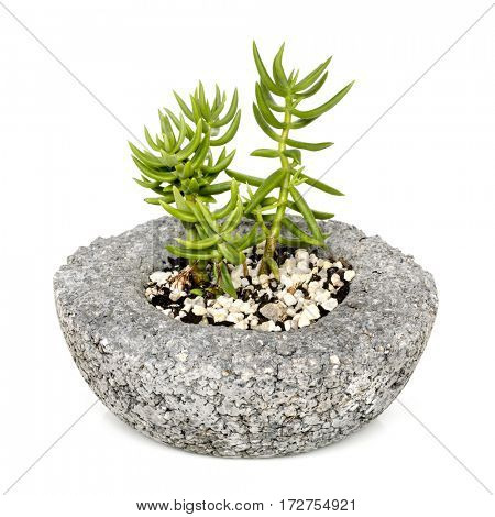 Pot plant, isolated, side view.  Succulent in pressed concrete.