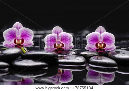 still life with black stones and three orchid