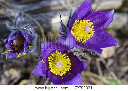 background pictures group of  purple  snowdrop primroses sleep-grass in the forest