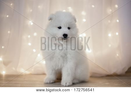 Samoyed puppy on a background garlands LED
