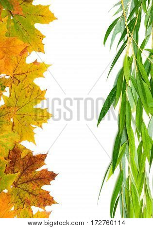 autumn maple leaves and willow on a white background. vertical photo.