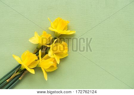 Arrangement of five fresh yellow Jersey Pride daffodils lying on soft pale green textured background with lots of copy space.