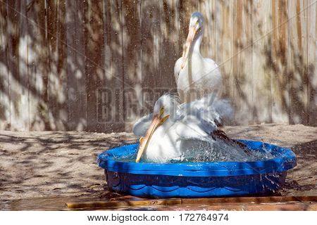 white pelican splashing in child's wading pool