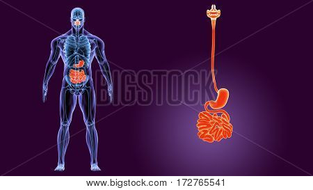 3D human male x-ray digestive system.human body part