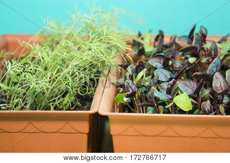 sprouts of Basil and dill in the brown pots on a turquoise background