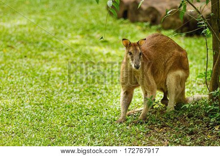 Relaxing male wallaby. Natural background with kangaroo in sunny day. Singapore