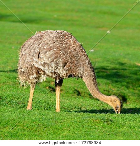 emu bird searching some food in grass