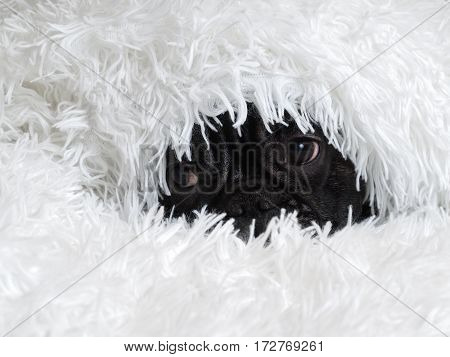 Black dog peeks out from under a fluffy white blanket
