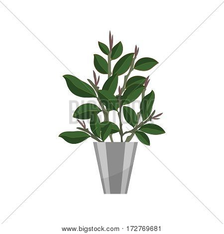 Ficus. House plant realistic icon for interior decoration . Green tree plant in flowerpot. Vector illustration isolated on white background