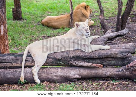 White Lioness lying on a tree on Mauritius island Casela park