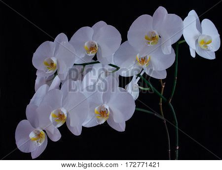 Blossoming beautifully branch of white phalaenopsis orchid flower with yellow center isolated on a black background