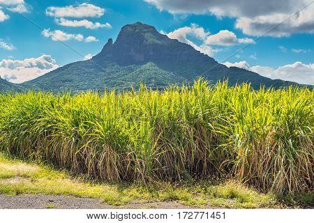 Sugar cane plantations on the island of Mauritius