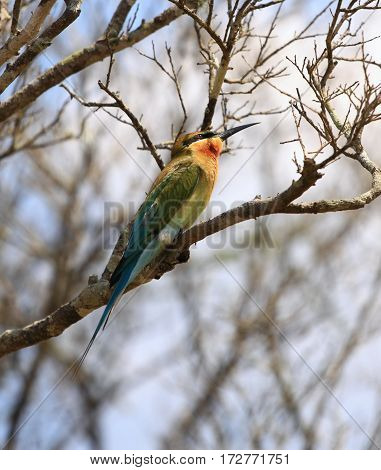 Blue -tailed Bee-eater Merops philippinus Sri Lanka