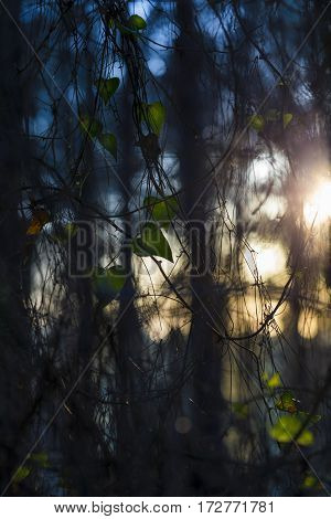 Dusk contrast blue and yellow sunlight from side through vegetation shrubbery with heart shaped green leaves