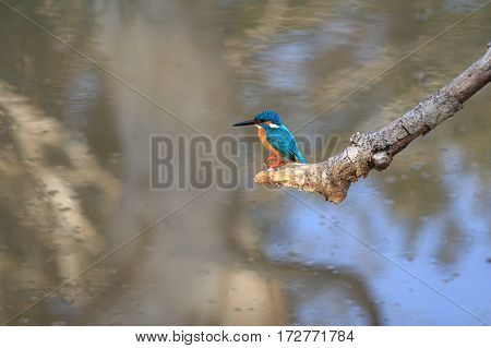 Common kingfisher Alcedo atthis taprobana Sri Lanka male fishing