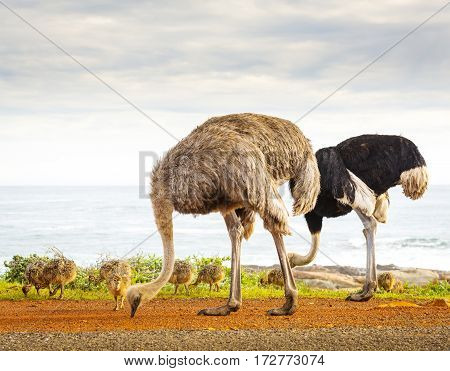 Ostrich Family With Chicks